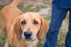 Meet Budro, an adoptable Hound looking for a forever home. If you're looking for a new pet to adopt or want information on how to get involved with adoptable pets, Petfinder.com is a great resource. Hound Breeds, Save A Dog, Red Bone, Help The Poor, Bloodhound, Puppy Mills, Like Animals, Humane Society, Pet Shop