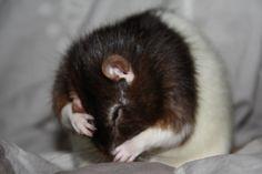 La toilette du rat : Bounty Les Rats, Dumbo Rat, Animaux
