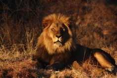 lion time pictures for background