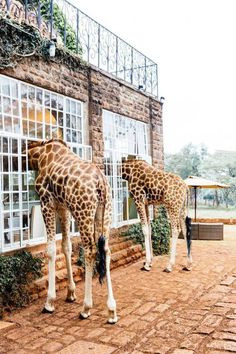 Giraffe Manor Hotel! Just the coolest place ever.