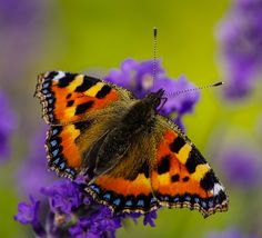 ~~Small Tortoiseshell butterfly by CLIFFWALKER~~