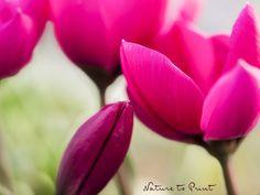 Wildtulpen im Frühlingsgarten. Entzückende Frühblüher in leuchtenden Farben und mit dem Drang, sich zu vermehren - wenn man sie nur in Ruhe lässt.