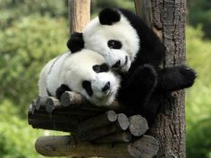Rien de vaut un câlin (de pandas), suspendu dans un arbre...