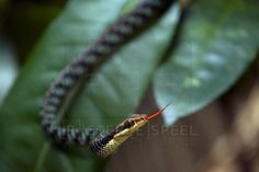 Nganson Bronzeback Tree Snake (Dendrelaphis ngansonensis) Khao Yai national park Khao Yai National Park, National Parks, Snake, Thailand, Animals, Animales, Animaux, A Snake, Animal