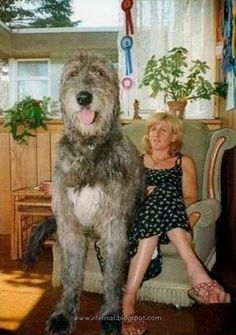 This Irish wolfhound.not sure why I'm obsessed w these huge dogs but I am Huge Dogs, Giant Dogs, I Love Dogs, Beautiful Dogs, Animals Beautiful, Worlds Biggest Dog, World's Biggest, Pet Dogs, Dogs And Puppies