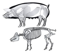 pig anatomy muscle & skeleton