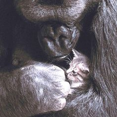 """Rest in Peace, Koko. 😿When Koko the gorilla lost her first kitten, who she named """"All Ball"""", she signed """"Cat, cry, have-sorry, Koko-love.""""…"""