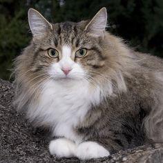 gato bosque de noruega - Buscar con Google Ragamuffin, Lots Of Cats, Siberian Cat, Norwegian Forest Cat, Warrior Cats, Maine Coon, Cats And Kittens, Animals, Persian