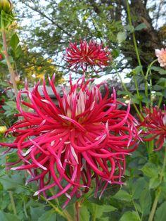 PlantFiles Pictures: Cactus Dahlia 'Hollyhill Spider Woman' (Dahlia) by edewitt Unusual Flowers, All Flowers, Beautiful Flowers, Pink Perennials, Growing Dahlias, Pot Plante, Gladioli, Chrysanthemums, Summer Plants