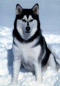 Sirius - black & white Alaskan Marmalute :)