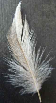 Duck flank feather