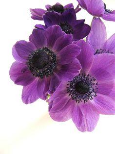 Purple Anenome, via Flickr.