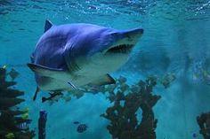 Žralok piesočný Latinský názov: Carcharias taurus