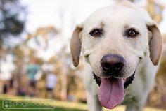 Labrador :: Dogscapes.com Dog Photography San Diego