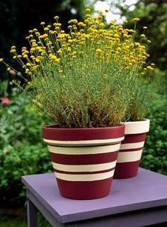 Love the striped pot.  Very striking and easy to make. Santolina in striped terracotta pot