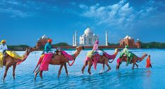 Camels and Taj Mahal India. Went to the Taj Mahal, but did not see anything as spectacular as this. Places Around The World, Oh The Places You'll Go, Travel Around The World, Places To Visit, Around The Worlds, Taj Mahal, Nepal, Best Places To Travel, Future Travel