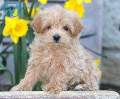 Cookie | Maltipoo Puppy For Sale | Keystone Puppies Maltipoo Puppies For Sale, Animal Memes, Baby Dolls, Cookie, Dogs, Animals, Biscuit, Animales, Animaux