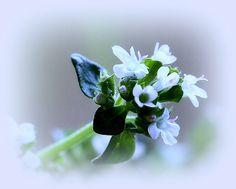 Thymus Faustini... by ~♥~ Edike`s World ~♪♫♪~, via Flickr