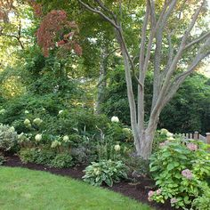 hydrangea Limelight, Red Twig Dogwood, Hosta Francis Willis along with Nepeta and vinca- New Rochelle Entry Garden