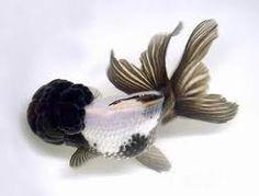 Panda Oranda (Goldfish)