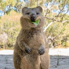 This quokka is the cutest thing you will see today 🥰 TAG the CUTEST person you know 👇 Photo: ➡Founders: ⬅… Cute Wild Animals, Happy Animals, Cute Funny Animals, Animals And Pets, Australian Animals, Tier Fotos, Mundo Animal, Cute Creatures, Animal Photography