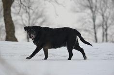 Black dog ~ © Brandace Myers 2015