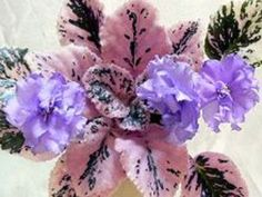African Violet Leaf 'Wrangler's Swinging' Blues' Beautiful Variegation! ~ I had this one, one time and it does look like this.  Outstanding!