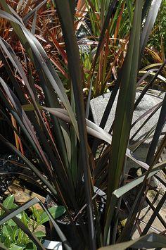 104 best phormium new zealand flax images on pinterest new zealand find platts black new zealand flax phormium platts black in toronto etobicoke mississauga vaughan brampton ontario on at plant world altavistaventures Images