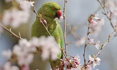 The debate in Britain over the invasion by Asian parrots: