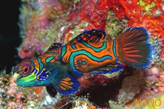 manderine goby also known as a psychedelic Dragon. if we ever were to get a salt water tank i would want one of these. I used to have one and it is my favorite fish. They are so cool!