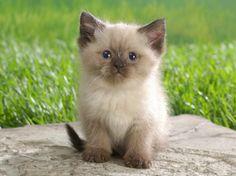 Himalayan kitten!! awww!