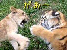 ライオンと虎が戦ったら、どちらが強いのか?良く議論されるテーマですが、成体ではなく生後5か月の赤ちゃん同士が戦っていました。映像をご覧ください。