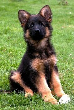 Top 10 Most Expensive dog breeds - The Pet's Planet