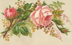 pink roses with foliage