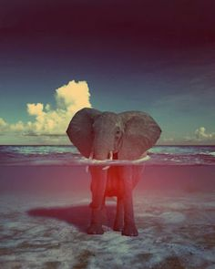 Elephant in the water.