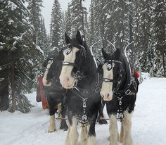 Clydsdales trail ride at Big White. by daffydilldeb, via Flickr