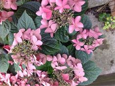 Hydrangea Macrophylla: Your photo shows a lacecap hydrangea - showy florets surrounding tiny true flowers. It appears to be a healthy specimen - if you think there is a problem, please send another photo that highlights that.