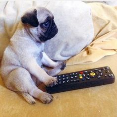 """Weekend plans!! ❤️ Did you get your Pug book yet? Your pug deserves this book! ❤️ Search Amazon.com for """"The Pug Who Ate The World"""""""