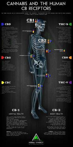 Cannabis and the Human CB Receptors. This is why Cannabis helps so many different medical conditions. Cannabis and the Human CB Receptors. Cannabis News, Marijuana Recipes, Ganja, Endocannabinoid System, Medical Marijuana, Herbs, Fibromyalgia, Smoking Weed, Medicinal Plants