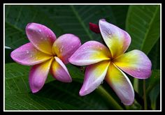 Pink and Gold Frangipani