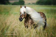 Pferde sind wahr gewordene Traumwesen, Haflinger Hengst liz. Steiermark, Foto: Bettina Niedermayr