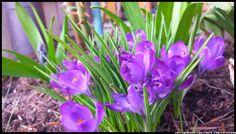 krokusy w ogrodzie - kwiaty wiosenne #kwiaty #flowers #polish flowers #polskie kwiaty #kwiatki #kwiaty ogrodowe #kwiaty polne #kwiaty leśne #przebiśniegi #śnieżyczki #pierwiosnki #kwiaty wiosenne #wiosna #spring #krokusy #przebiśniegi #hiacynty #przyroda #natura #kwiaty wiosenne #spring flowers #polish flowers #Polskie kwiaty #ogród #garden #ogrodnictwo #ogrodnik #garden-flower