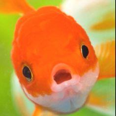 I really want a fish tank full of big eyed goldfish.