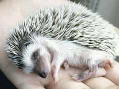 Sleeping hedgehog - just so dang cute!