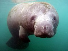 Manatee Florida, Florida Fish, Sea Cow, Archaeology News, Wildlife Conservation, Sea Monsters, Cairo, Pet Care, Pet Birds