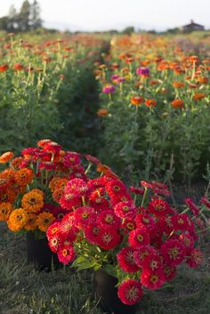 Growing zinnias - one of my favorite Summer flowers! They make the veggie garden look so beautiful.