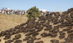 Thousands of Wild Buffalo Appear Out of Nowhere at Standing Rock! Native Americans attempting to stop a pipeline from being built on their land just got help from a large herd of wild buffalo. In the midst of mass arrests, mace attacks & baton beatings, a stampede of bison suddenly appeared at Standing Rock near protest camp. A cry of joy erupted from the Standing Rock Sioux, as they had been praying for assistance from the  Buffalo during their standoff with riot police & national…