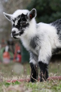 Have a pregnant goats? Use this goat pregnancy calendar Tame Animals, Nature Animals, Animals And Pets, Pigmy Goats, Boer Goats, Mini Goats, Cute Goats, Fluffy Animals, Cute Baby Animals