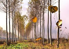 Pioppi, foglie e nebbia.. by Alan Berta @ http://adoroletuefoto.it