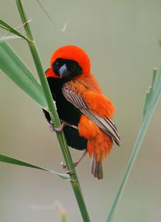 Southern Red Bishop Order: 	Passeriformes Family: 	Ploceidae Genus: 	Euplectes Species: 	E. orix Little Birds, Colorful Birds, Exotic Birds, Animals Beautiful, Beautiful Birds, South African Birds, Kinds Of Birds, All Birds, Love Birds